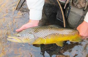 big-brown-trout,-Yellowstone-River,-Utah