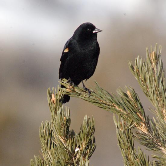 Utah Bird watching at Falcon's Ledge